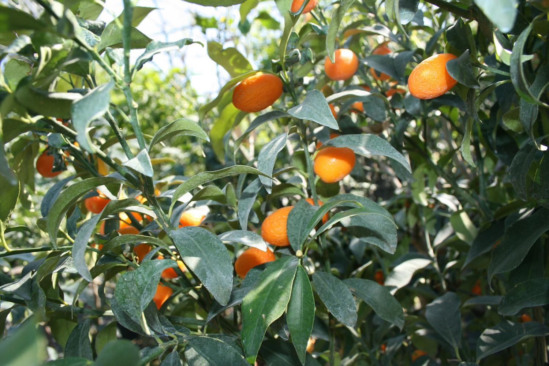 Piante da frutto vivai maisto for Vivai piante da frutto