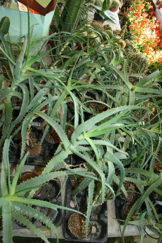Piante grasse vivai maisto for Piante grasse ornamentali